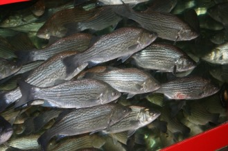 . . . .you've got fresh fish
